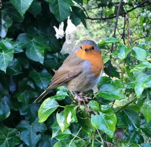 Robin in the bush